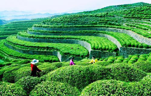 关于茶叶的创业故事